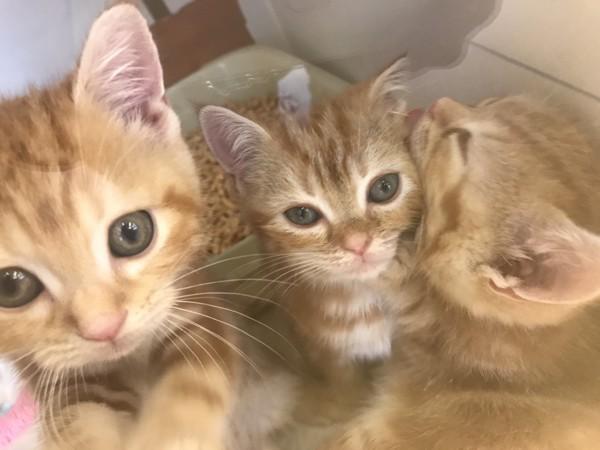 猫 アメリカンショートヘア たーこの写真