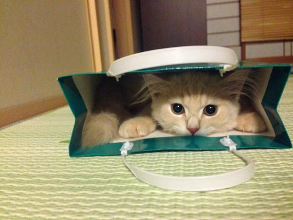 猫 スコティッシュフォールド きなこの写真