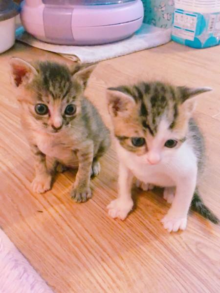 猫 アメリカンバーミーズ サミーとよいちゃんの写真