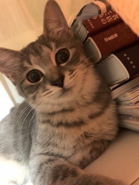 猫 サバシロ スーインの写真
