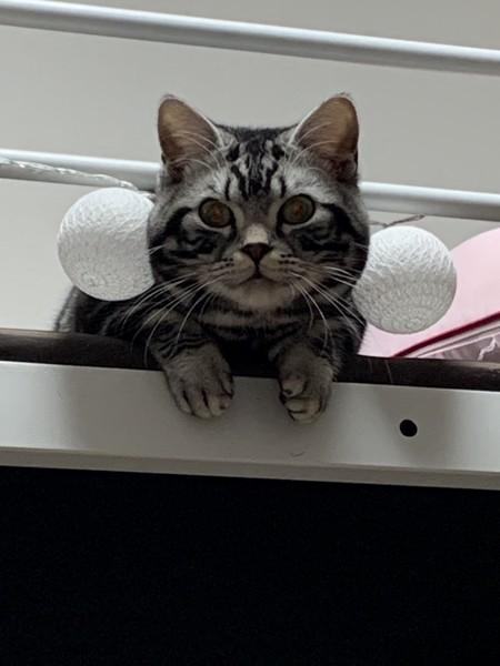 猫 マンチカン ナツの写真