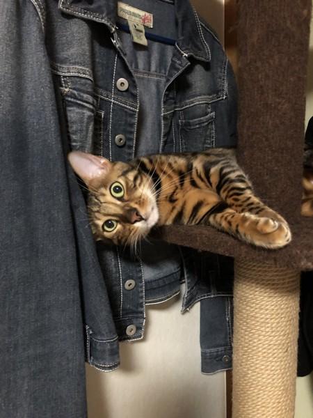 猫 ベンガル Otto の写真