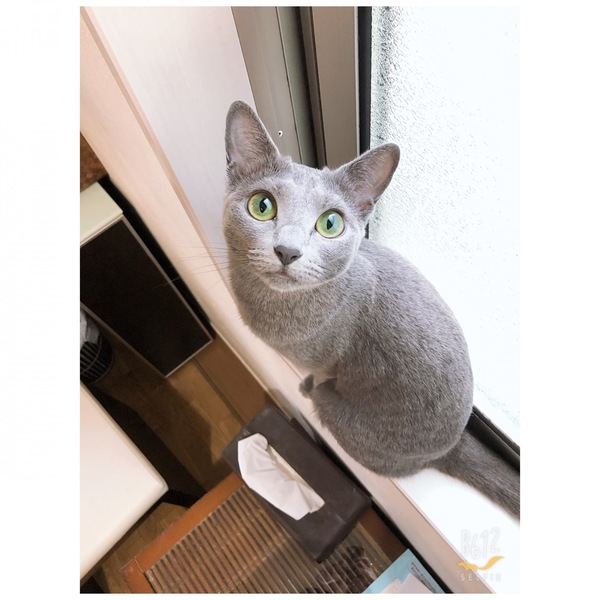 猫 ロシアンブルー 🐈ペグゾ〜の写真