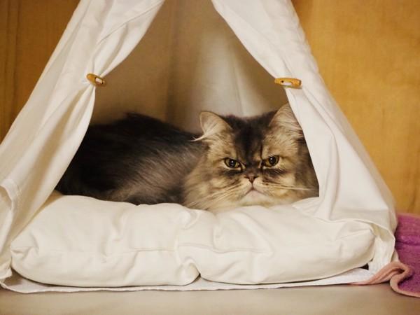 猫 エキゾチックロングヘア ニャンコの写真