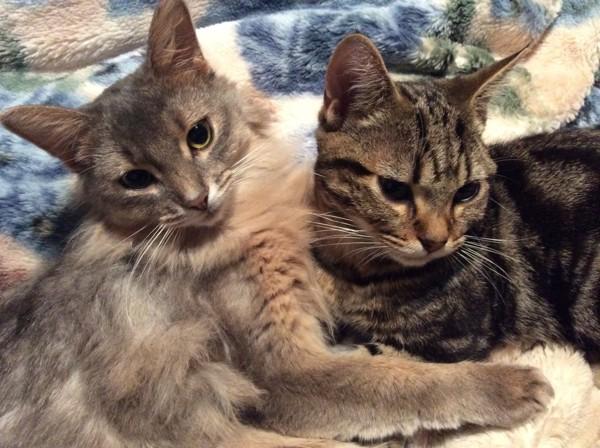 猫 ソマリ シナモンの写真