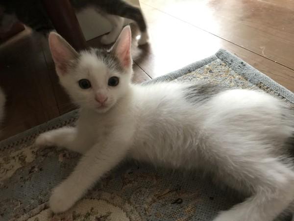 猫 白猫 ちっこちゃんの写真