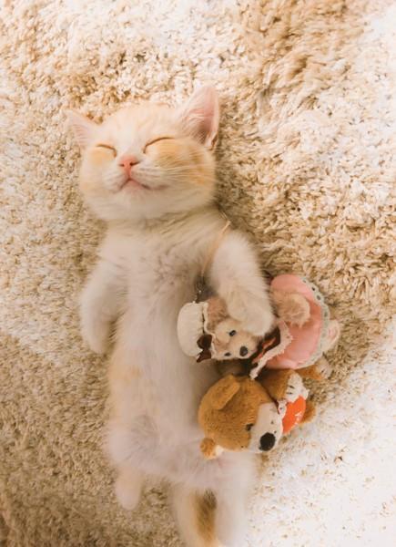 猫 マンチカン すずちゃんの写真