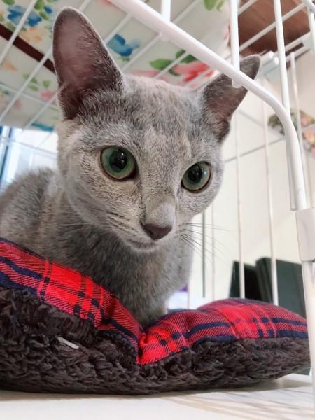 猫 ロシアンブルー ペグリンの写真