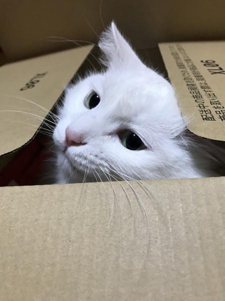 猫 白猫 そらの写真