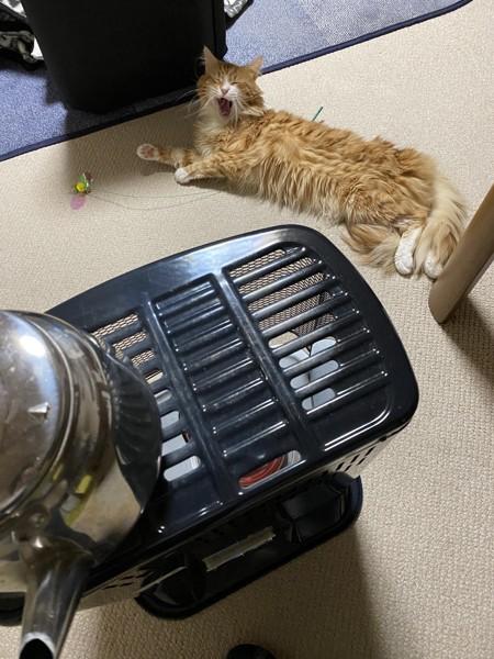 猫 メインクーン まめの写真