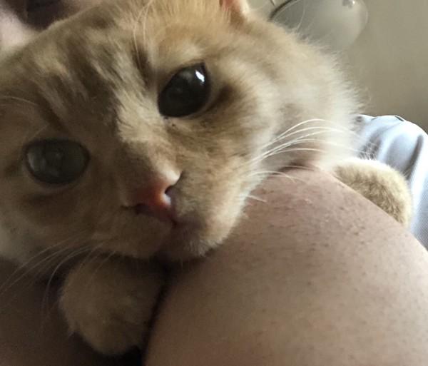 猫 アメリカンボブテイル ゴローの写真