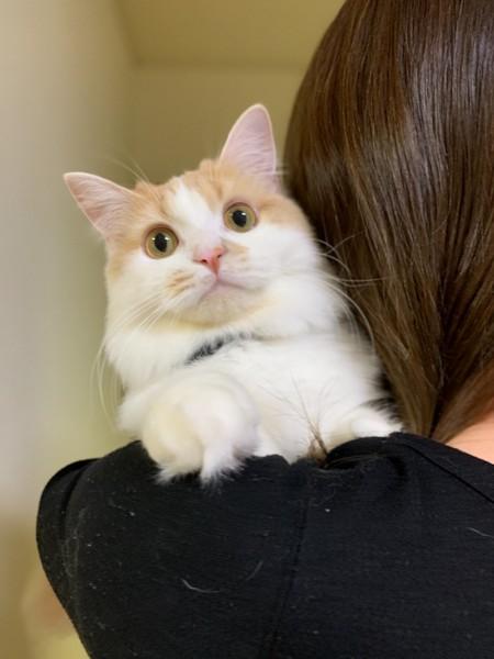 猫 マンチカン はぴの写真