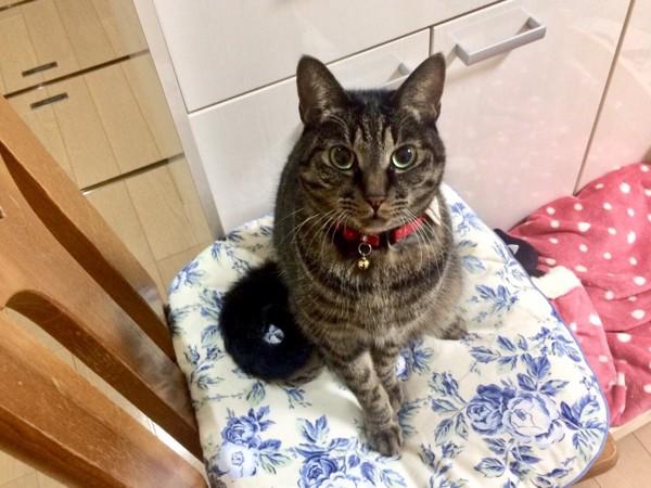 猫 キジトラ モカの写真