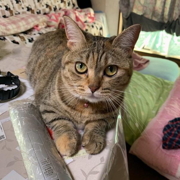 猫 マンチカン リンの写真