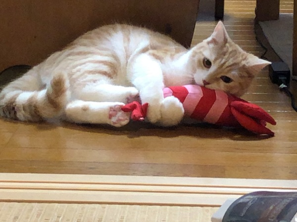 猫 スコティッシュフォールド コハク丸の写真