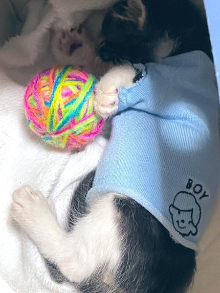 猫 キジトラ ノアの写真