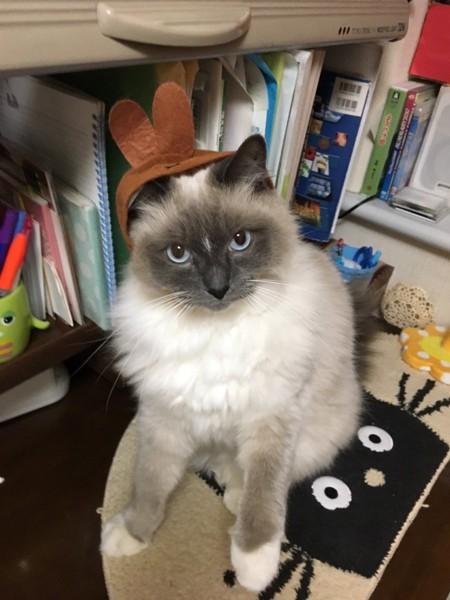 猫 ラグドール ハルちゃんの写真