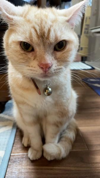 猫 アメリカンショートヘア ジョージの写真