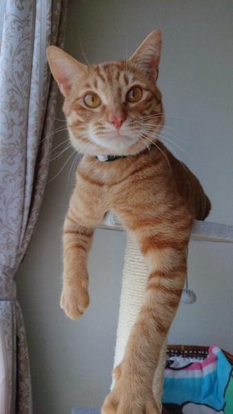 猫 茶トラ チョコの写真