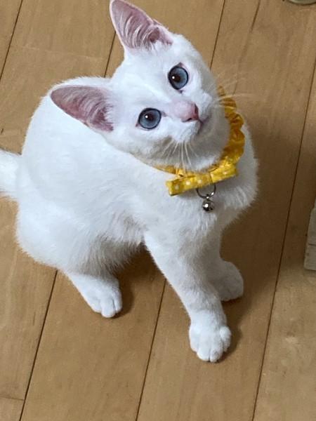 猫 白猫 白玉の写真