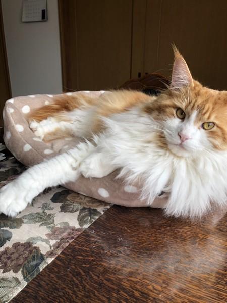 猫 メインクーン ノア君の写真