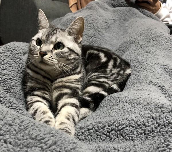 猫 アメリカンショートヘア ここの写真