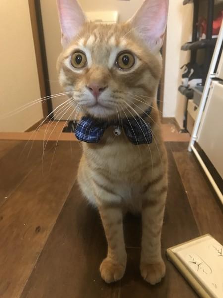 猫 茶トラ アルトの写真