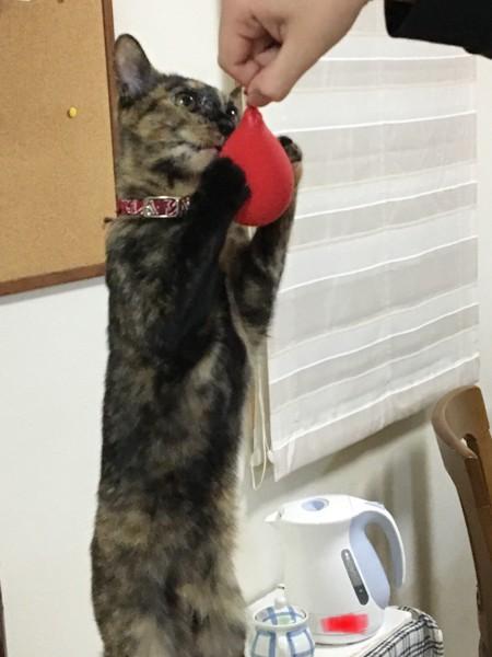 猫 雑種(ミックス) みーたの写真