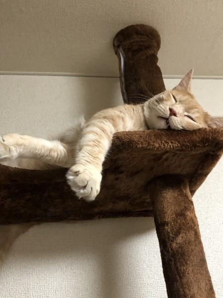猫 茶トラ キルアの写真