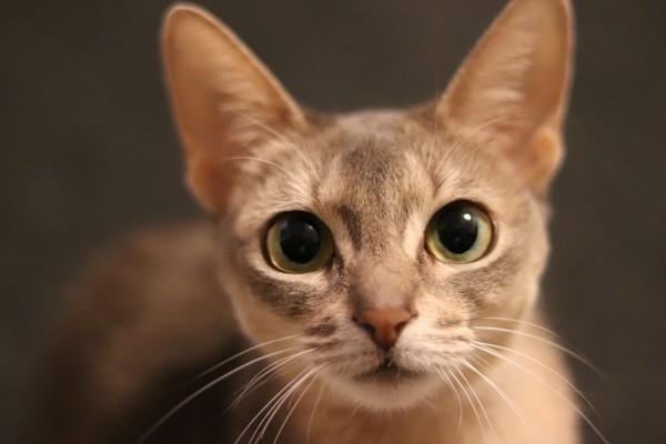 猫 アビシニアン あびの写真