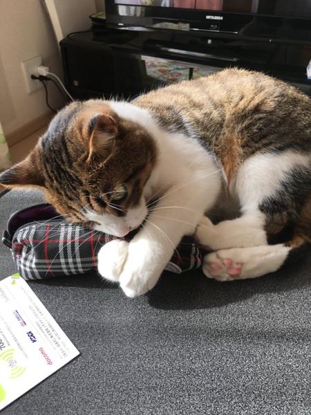 猫 キジトラ ノキアの写真