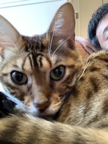 猫 ベンガル ジュの写真