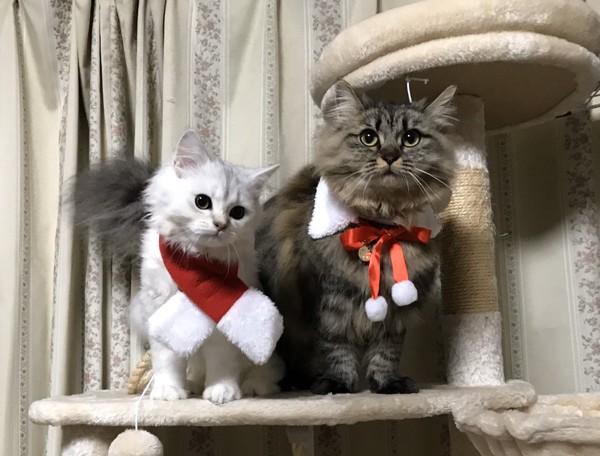 猫 チンチラペルシャ さら&レオの写真