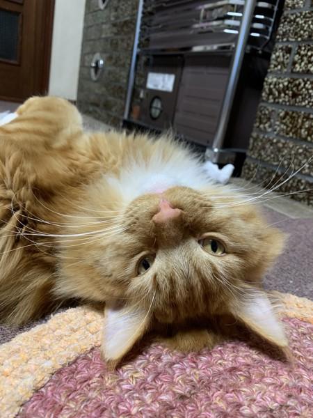 猫 メインクーン アンリの写真