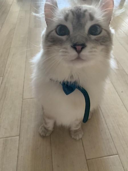 猫 アメリカンカール アメリカカールの写真