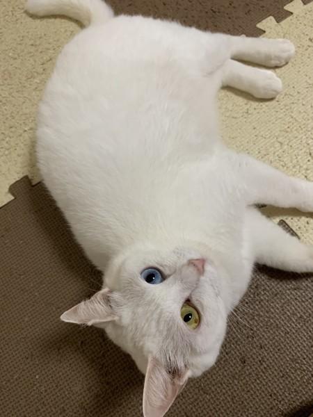 猫 白猫 のんの写真