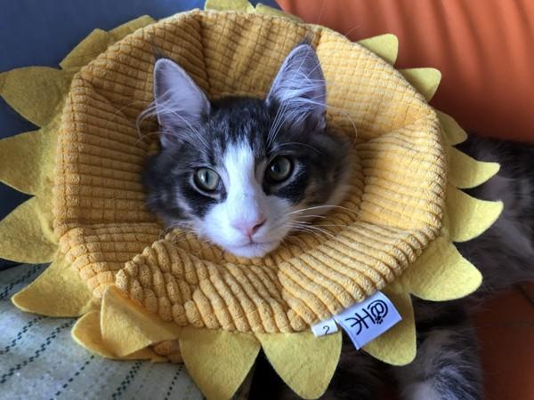 猫 ノルウェージャンフォレストキャット ティガの写真