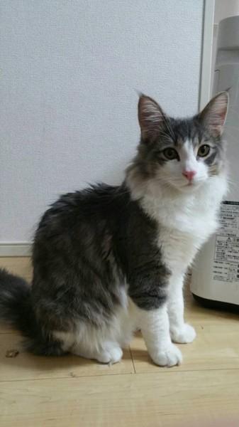 猫 ノルウェージャンフォレストキャット ロイの写真