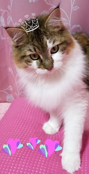 猫 メインクーン きなこの写真