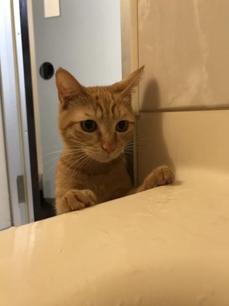 猫 茶トラ ギブソンの写真