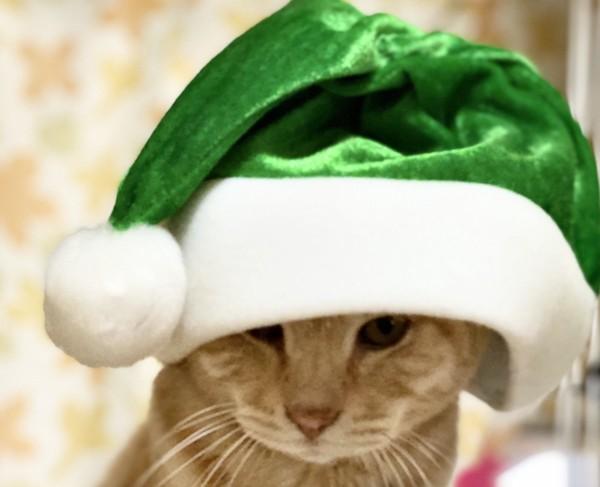 猫 茶トラ がんもの写真