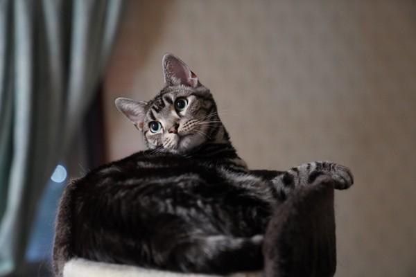 猫 アメリカンショートヘア バロンの写真