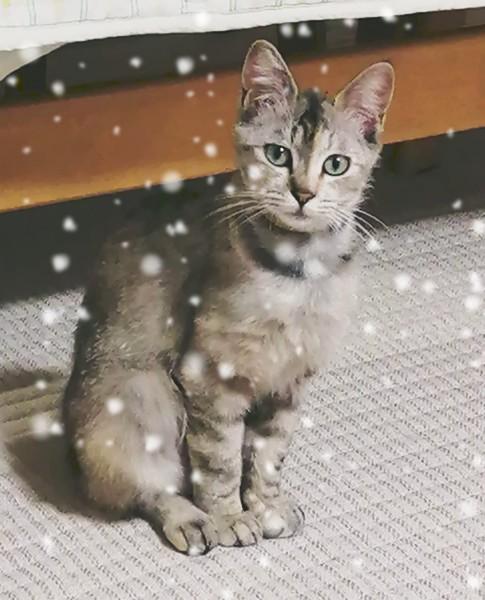 猫 キジトラ みみの写真
