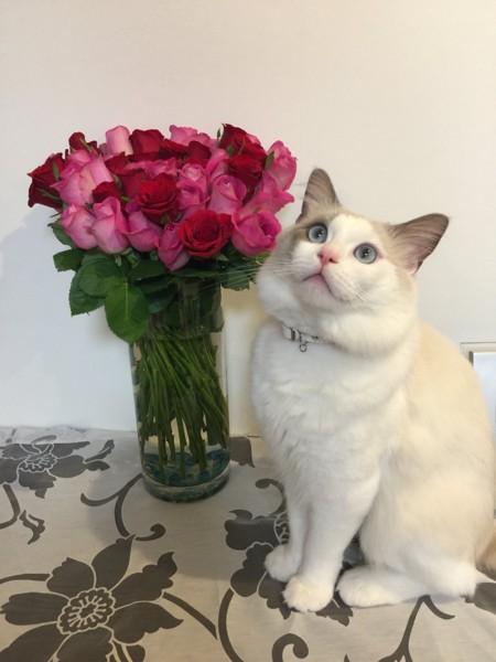 猫 ラグドール フランの写真