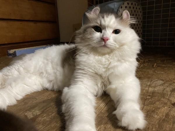 猫 アメリカンカール があるの写真