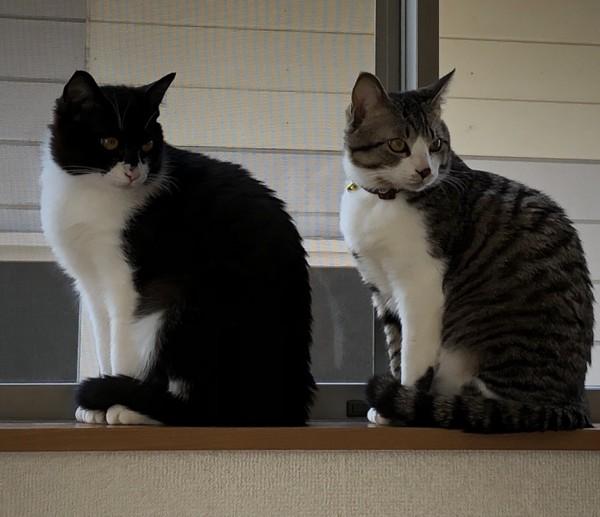 猫 雑種(ミックス) リンとレイラの写真