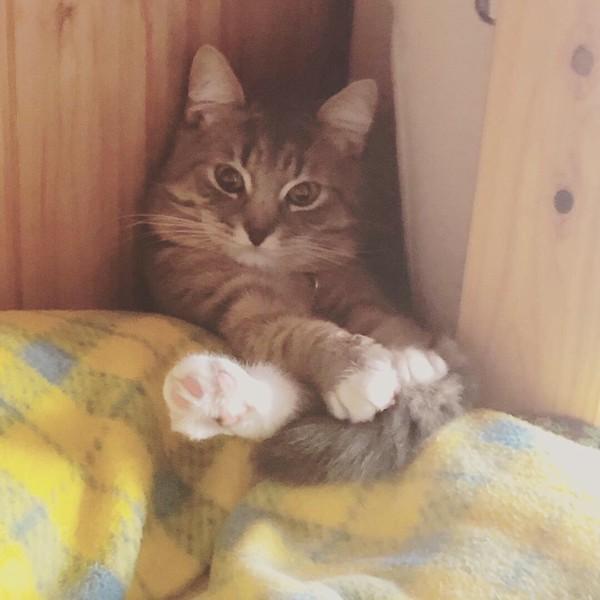 猫 ノルウェージャン×ブリティッシュショートヘア LAKIの写真