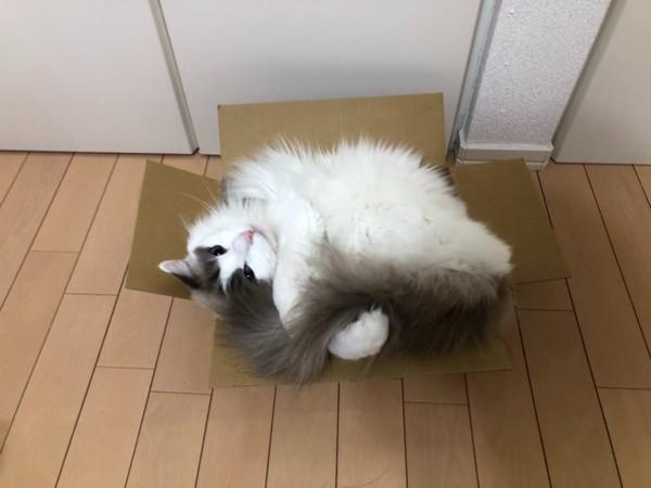 猫 ラグドール マグの写真