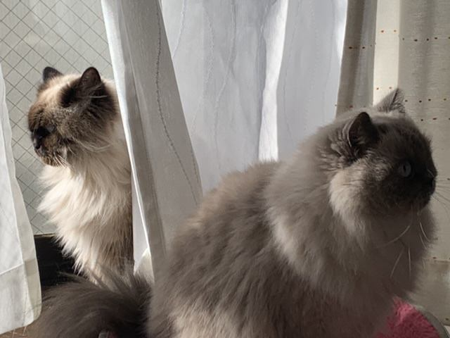 猫 ヒマラヤン モリー&ハチの写真