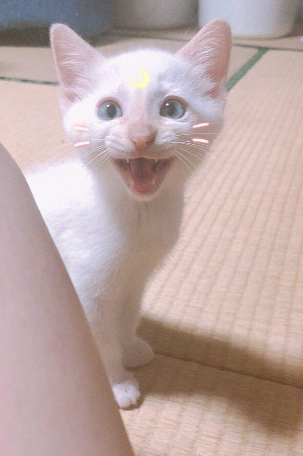 猫 白猫 おもちの写真